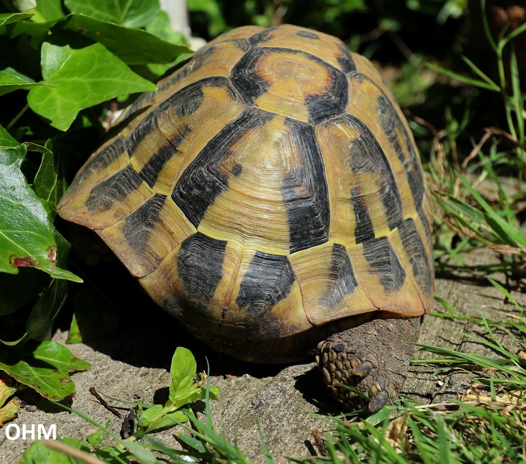 hvor store bliver sumpskildpadder