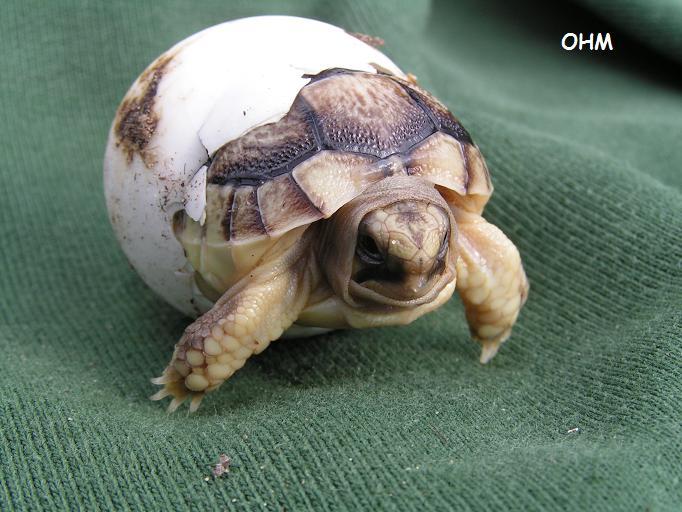 skildpadde æg