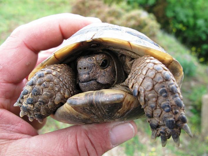 skildpadde som kæledyr
