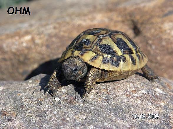 sumpskildpadder til salg