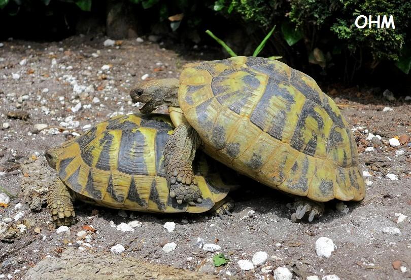 hvor gammel bliver en skildpadde