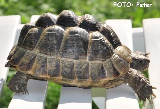 skildpadde til salg
