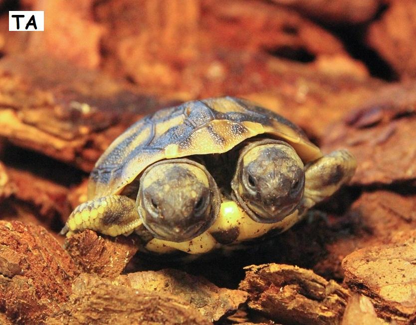 skildpadde unger
